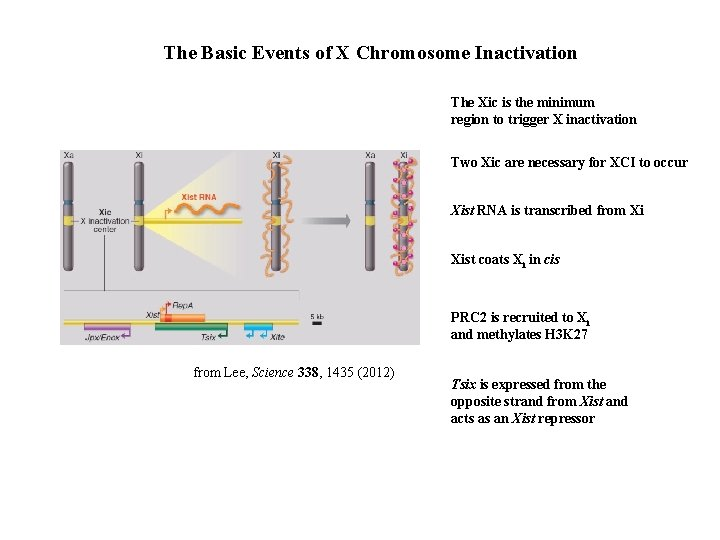 The Basic Events of X Chromosome Inactivation The Xic is the minimum region to