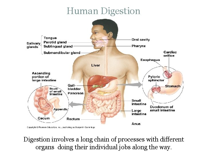 Human Digestion involves a long chain of processes with different organs doing their individual