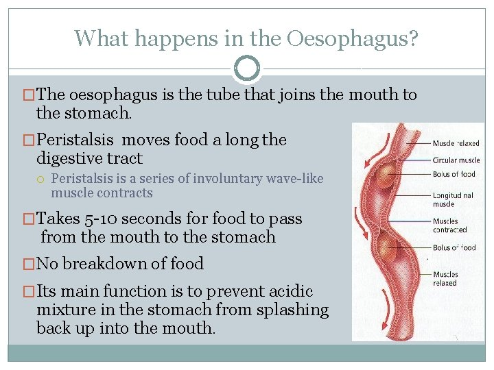 What happens in the Oesophagus? �The oesophagus is the tube that joins the mouth