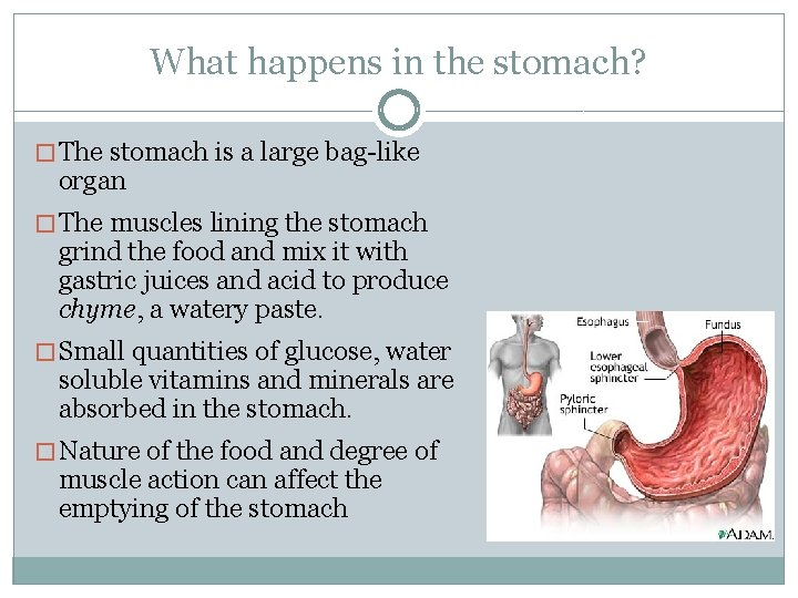 What happens in the stomach? � The stomach is a large bag-like organ �
