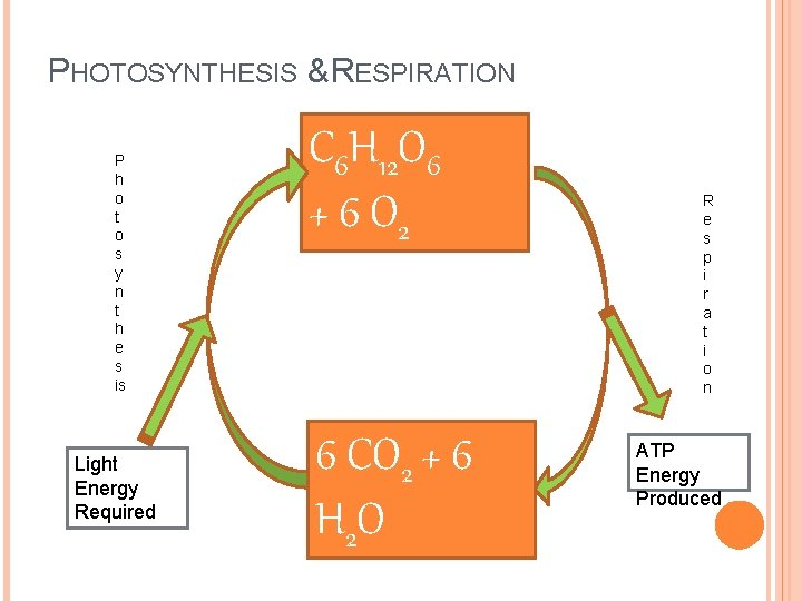 PHOTOSYNTHESIS & RESPIRATION P h o t o s y n t h e