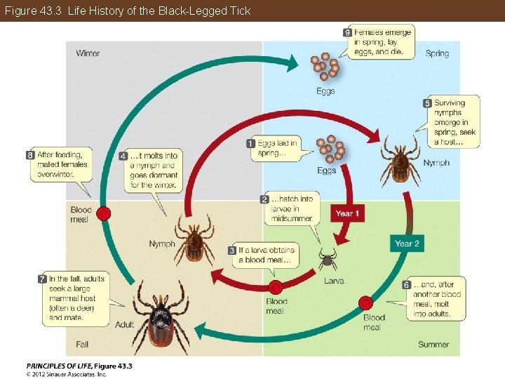Figure 43. 3 Life History of the Black-Legged Tick
