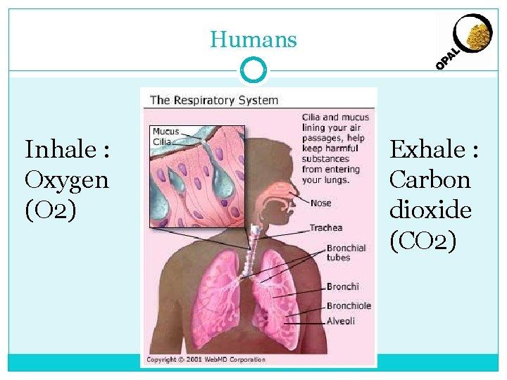 Humans Inhale : Oxygen (O 2) Exhale : Carbon dioxide (CO 2)