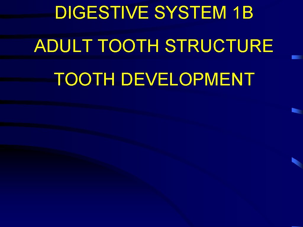 DIGESTIVE SYSTEM 1 B ADULT TOOTH STRUCTURE TOOTH DEVELOPMENT