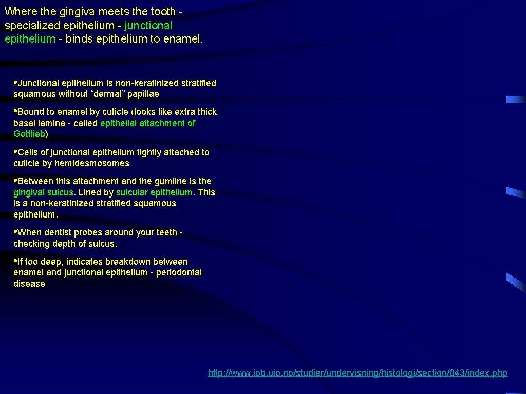 Where the gingiva meets the tooth specialized epithelium - junctional epithelium - binds epithelium
