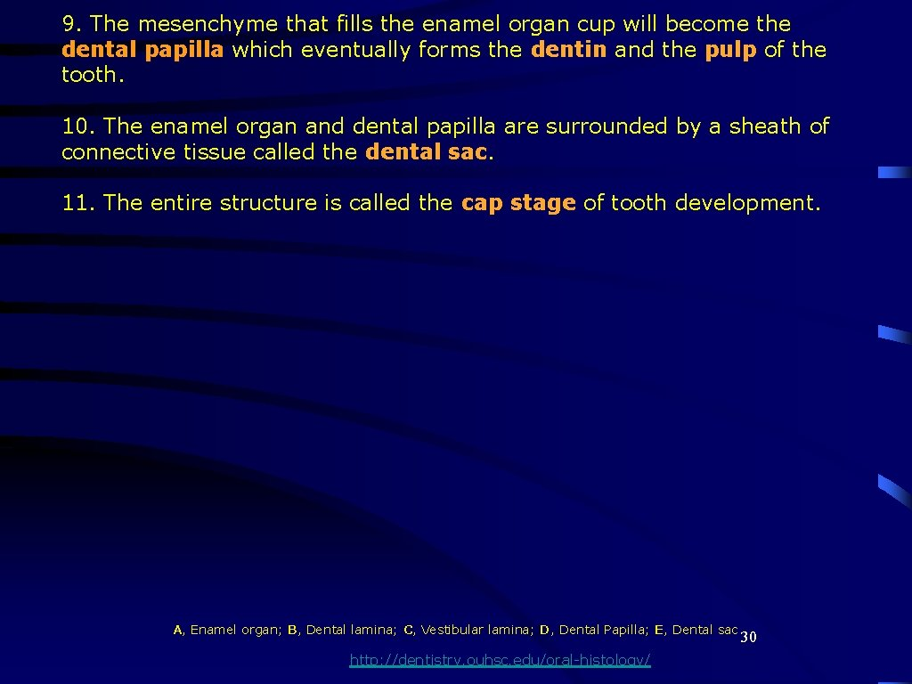 9. The mesenchyme that fills the enamel organ cup will become the dental papilla