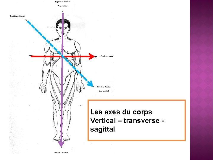 Les axes du corps Vertical – transverse sagittal