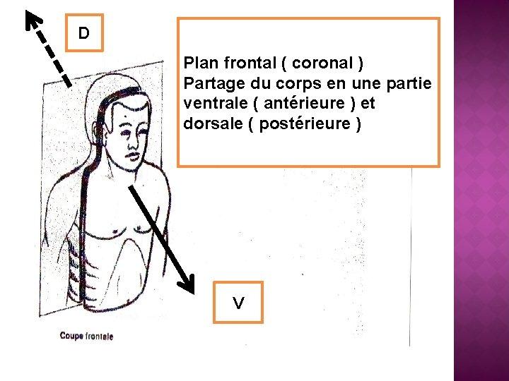 D Plan frontal ( coronal ) Partage du corps en une partie ventrale (