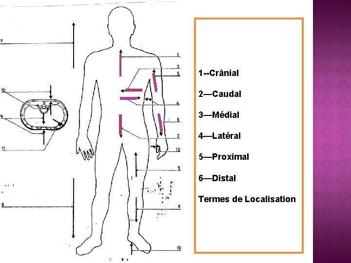 1 --Crânial 2—Caudal 3—Médial 4—Latéral 5—Proximal 6—Distal Termes de Localisation