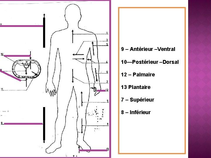 9 – Antérieur –Ventral 10—Postérieur –Dorsal 12 – Palmaire 13 Plantaire 7 – Supérieur
