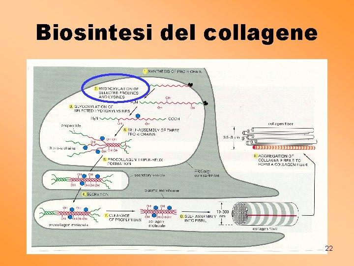 Biosintesi del collagene 22