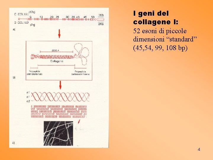 """I geni del collagene I: 52 esoni di piccole dimensioni """"standard"""" (45, 54, 99,"""
