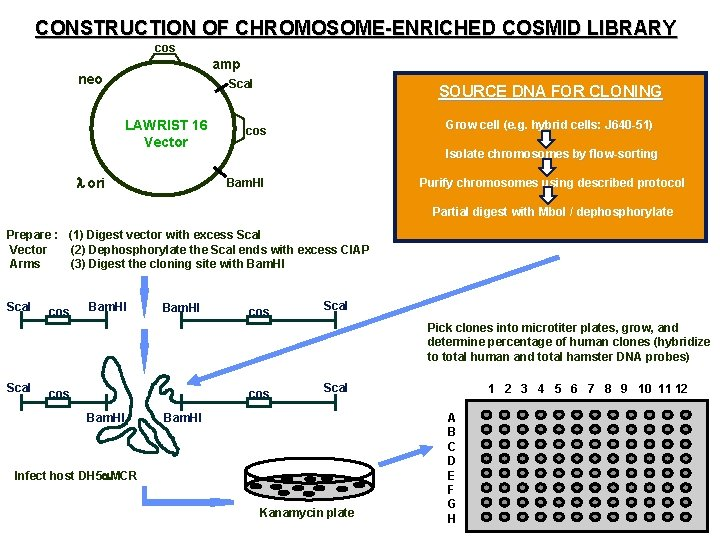 CONSTRUCTION OF CHROMOSOME-ENRICHED COSMID LIBRARY cos amp cos neo Sca. I LAWRIST 16 Vector