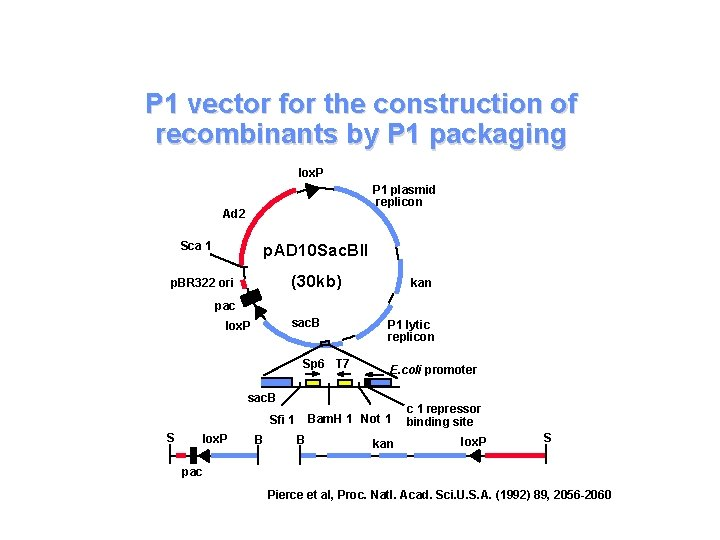 P 1 vector for the construction of recombinants by P 1 packaging lox. P