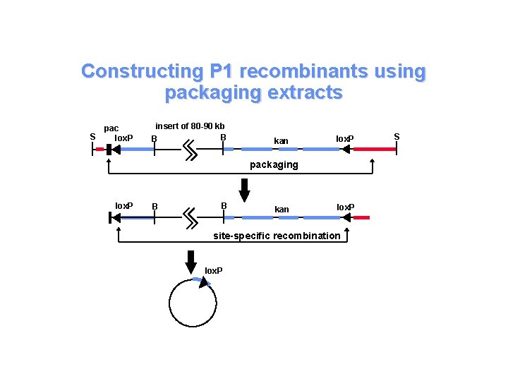 Constructing P 1 recombinants using packaging extracts S pac lox. P insert of 80