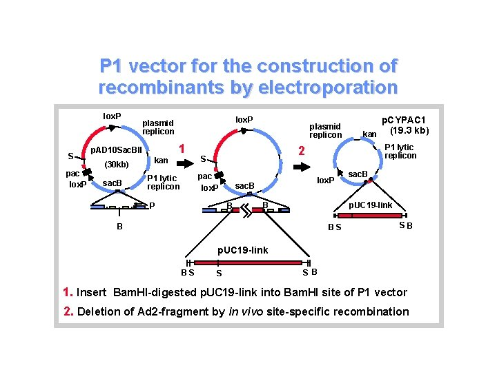 P 1 vector for the construction of recombinants by electroporation lox. P S pac
