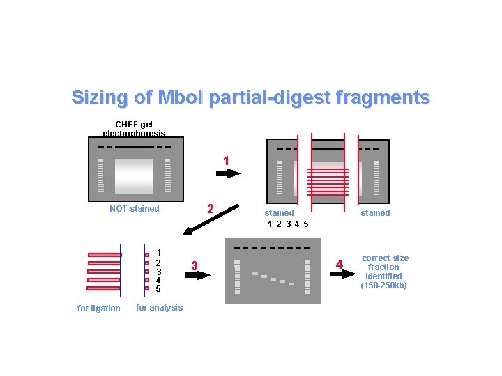 Sizing of Mbo. I partial-digest fragments CHEF gel electrophoresis 1 2 NOT stained 1