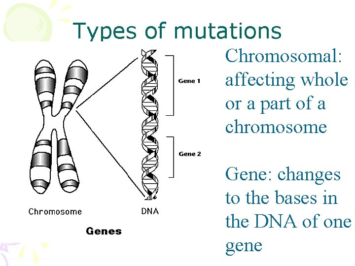 Types of mutations Chromosomal: affecting whole or a part of a chromosome Gene: changes
