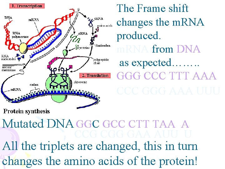 The Frame shift changes the m. RNA produced. m. RNA from DNA as expected…….
