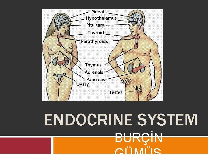 ENDOCRINE SYSTEM BURÇİN