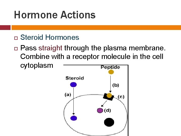 Hormone Actions Steroid Hormones Pass straight through the plasma membrane. Combine with a receptor