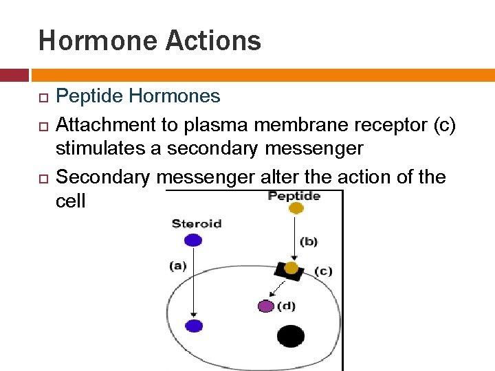 Hormone Actions Peptide Hormones Attachment to plasma membrane receptor (c) stimulates a secondary messenger