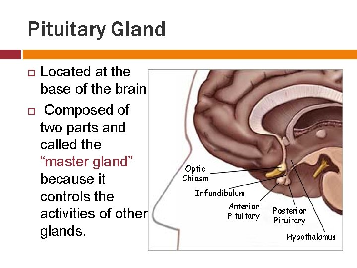 Pituitary Gland Located at the base of the brain. Composed of two parts and