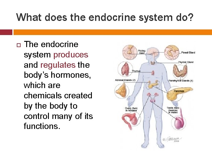 What does the endocrine system do? The endocrine system produces and regulates the body's