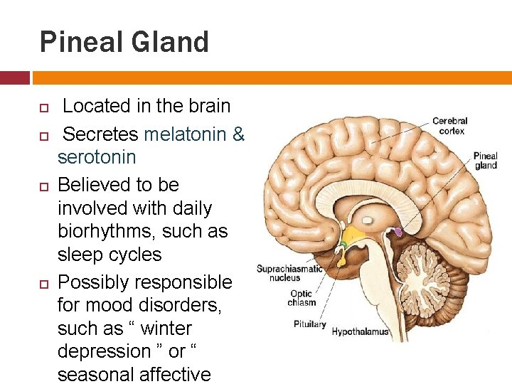 Pineal Gland Located in the brain Secretes melatonin & serotonin Believed to be involved