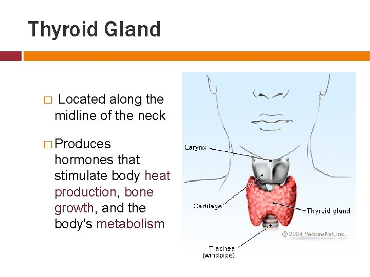 Thyroid Gland � Located along the midline of the neck � Produces hormones that