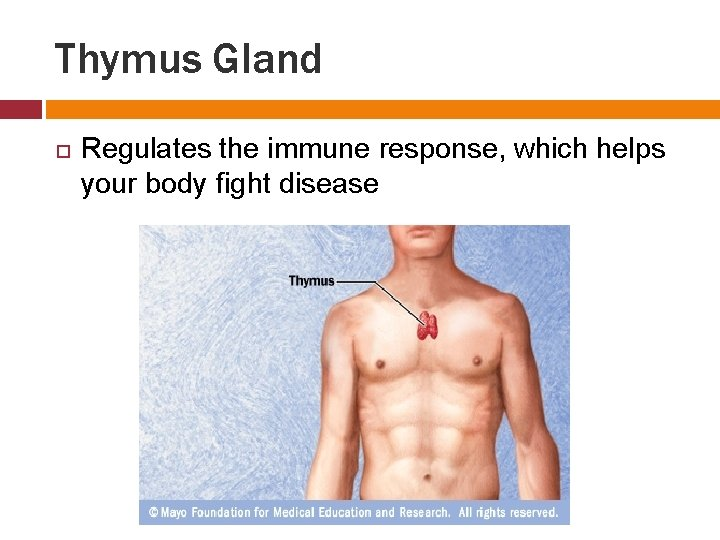 Thymus Gland Regulates the immune response, which helps your body fight disease