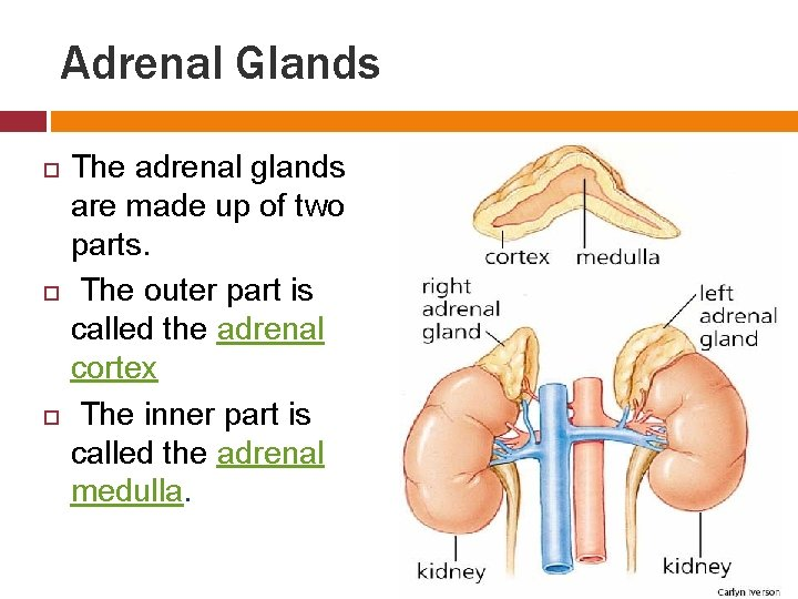 Adrenal Glands The adrenal glands are made up of two parts. The outer part