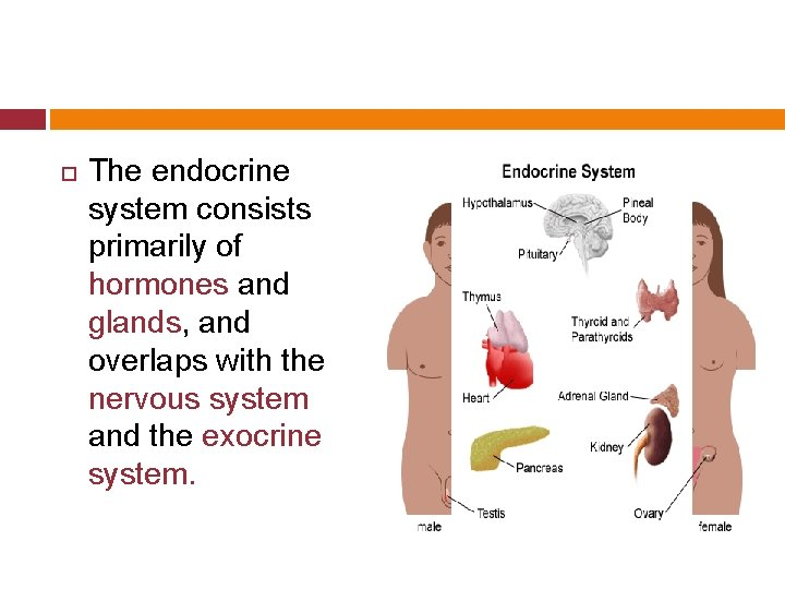 The endocrine system consists primarily of hormones and glands, and overlaps with the