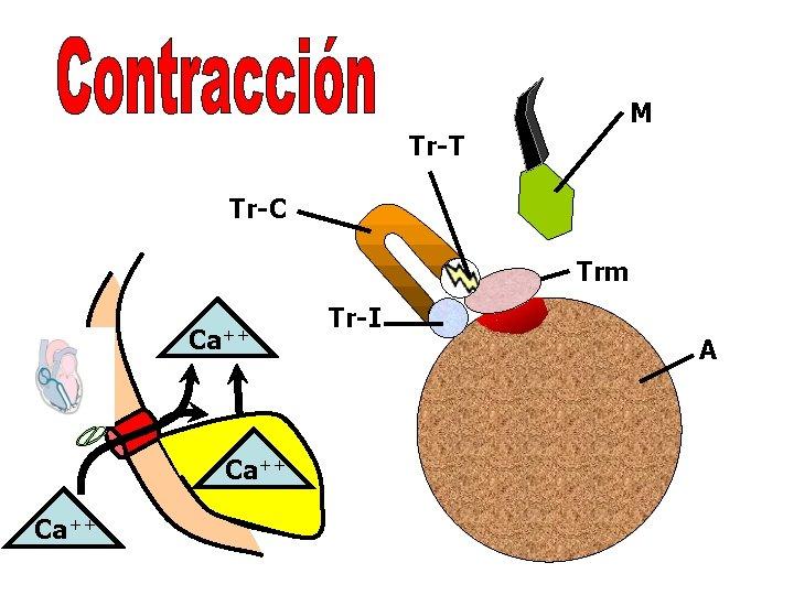 M Tr-T Tr-C Trm Ca++ Tr-I A
