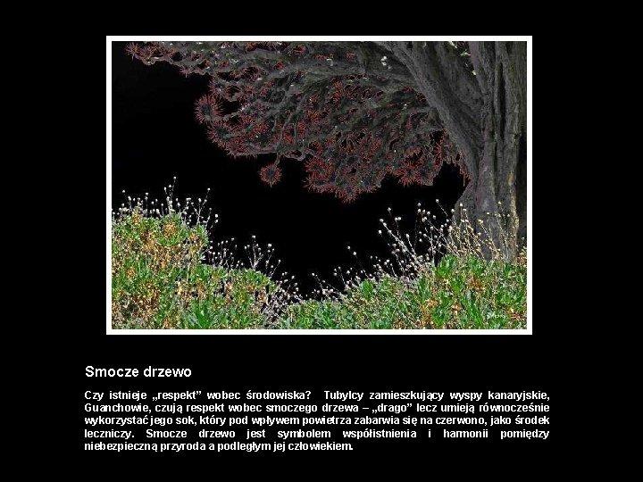 """Smocze drzewo Czy istnieje """"respekt"""" wobec środowiska? Tubylcy zamieszkujący wyspy kanaryjskie, Guanchowie, czują respekt"""
