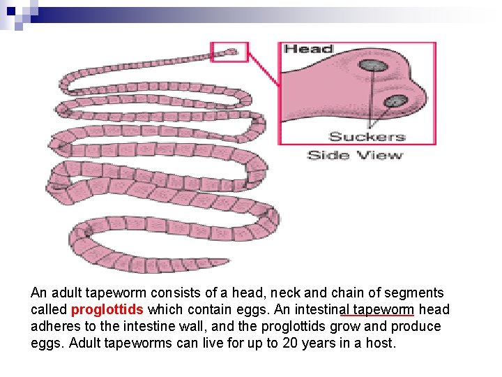An adult tapeworm consists of a head, neck and chain of segments called proglottids