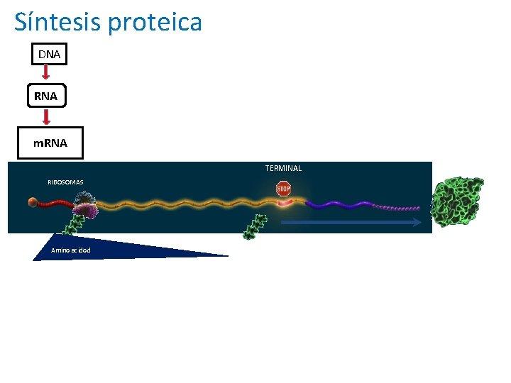 Traducción de la información genética en la producción de Síntesis proteica proteínas DNA RNA