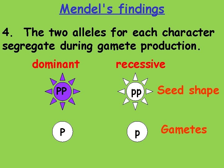 Mendel's findings 4. The two alleles for each character segregate during gamete production. dominant