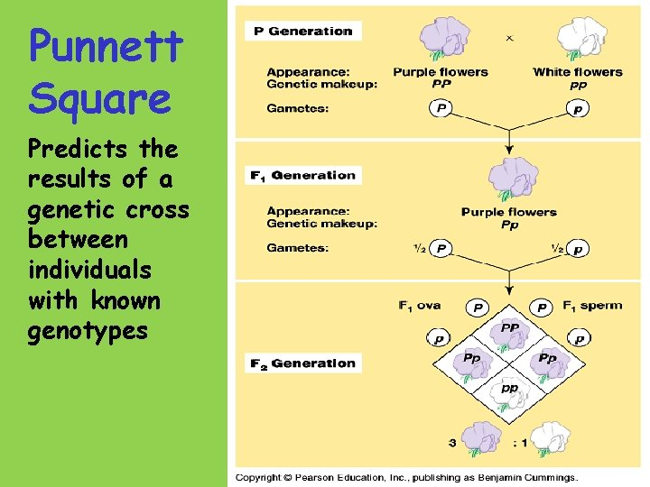 Punnett Square Predicts the results of a genetic cross between individuals with known genotypes