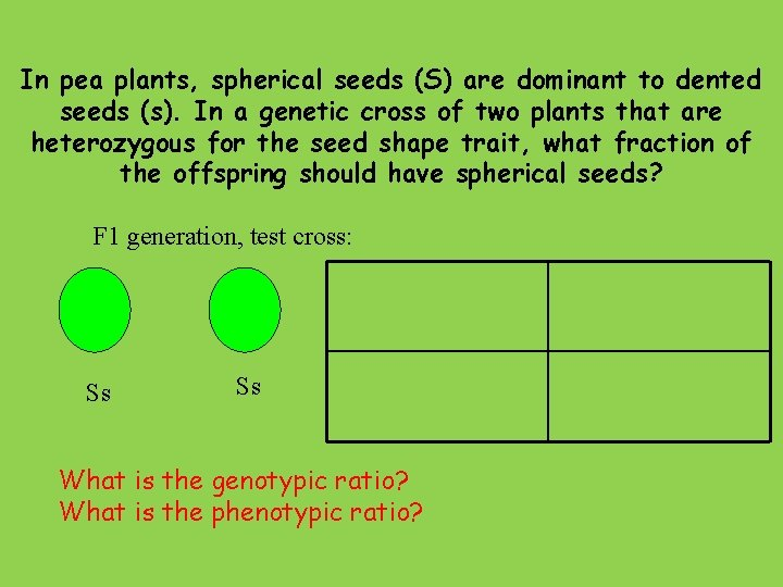In pea plants, spherical seeds (S) are dominant to dented seeds (s). In a