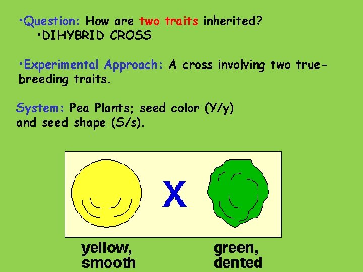 • Question: How are two traits inherited? • DIHYBRID CROSS • Experimental Approach: