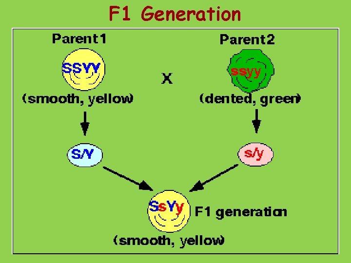 F 1 Generation