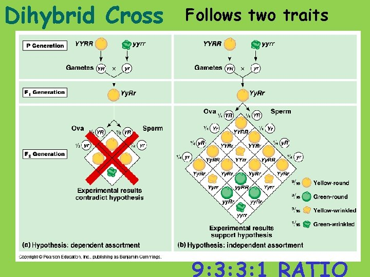 Dihybrid Cross Follows two traits 9: 3: 3: 1 RATIO