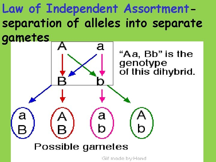 Law of Independent Assortmentseparation of alleles into separate gametes