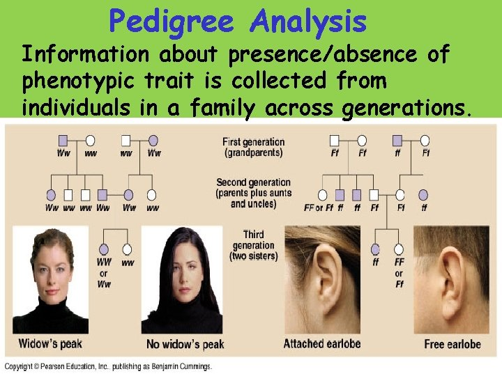 Pedigree Analysis Information about presence/absence of phenotypic trait is collected from individuals in a