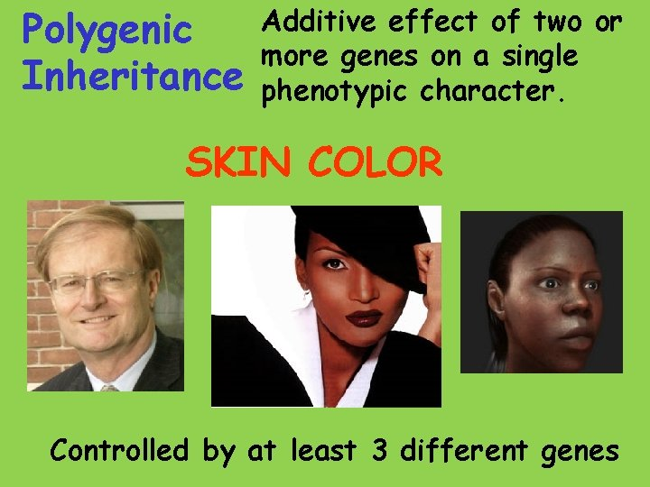 Polygenic Inheritance Additive effect of two or more genes on a single phenotypic character.