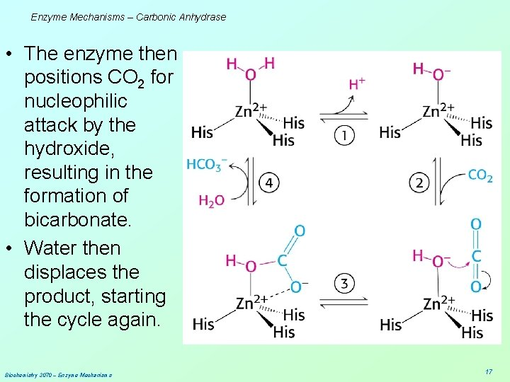 Enzyme Mechanisms – Carbonic Anhydrase • The enzyme then positions CO 2 for nucleophilic