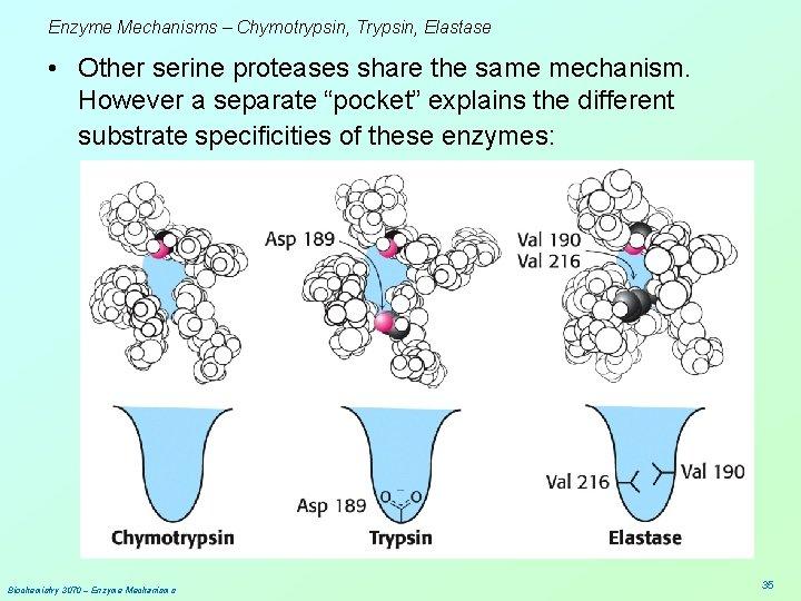 Enzyme Mechanisms – Chymotrypsin, Trypsin, Elastase • Other serine proteases share the same mechanism.