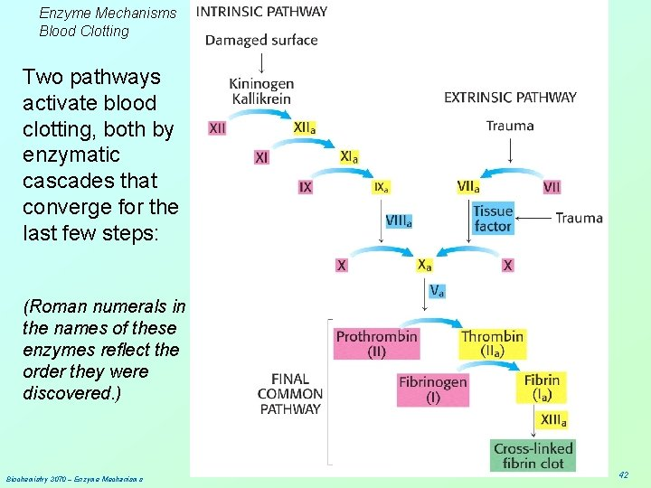 Enzyme Mechanisms Blood Clotting Two pathways activate blood clotting, both by enzymatic cascades that