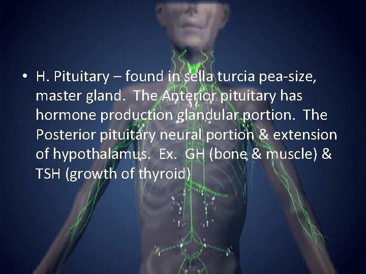 • H. Pituitary – found in sella turcia pea-size, master gland. The Anterior
